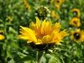 朵朵葵花,向阳开!