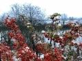 雪里红-冰雪火棘