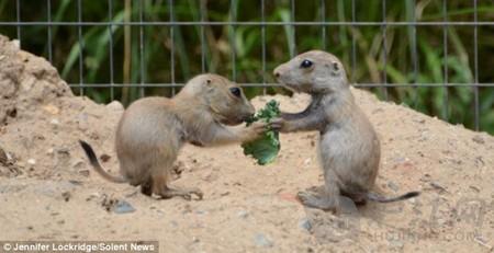尔的摩的马里兰动物园(The Maryland Zoo),一群土拨鼠(Prairie