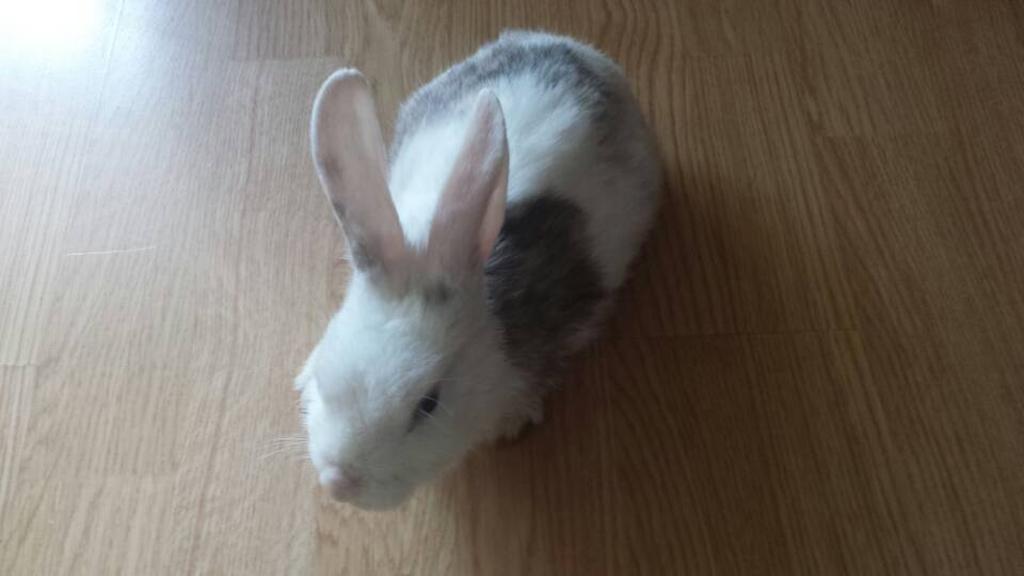 出售两只可爱小白兔