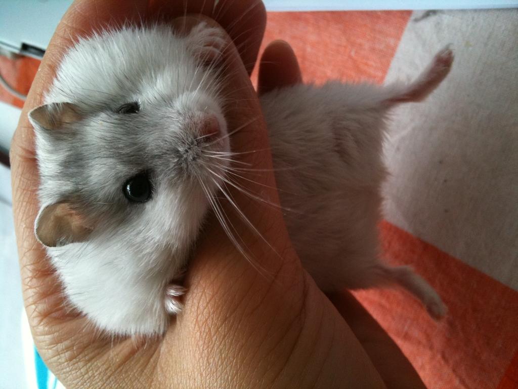 一只白色小仓鼠 - 宠物世界区 - 华人街网