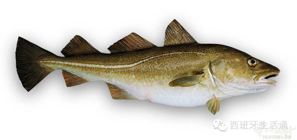 鳕鱼是野生的深海鱼
