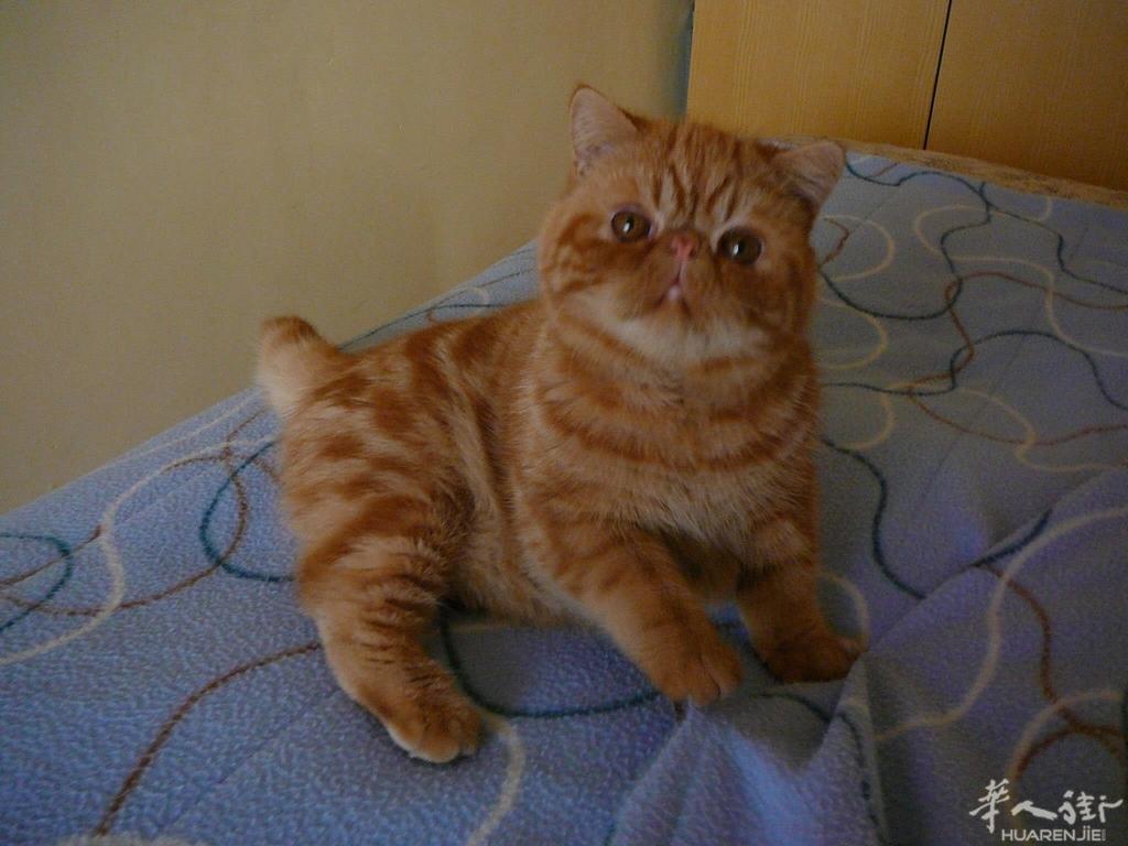 意大利淘宝市场 69 宠物世界区 69 出售一只超级可爱的加菲猫黄
