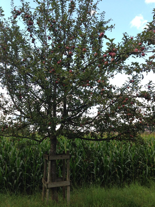 沿途的苹果树