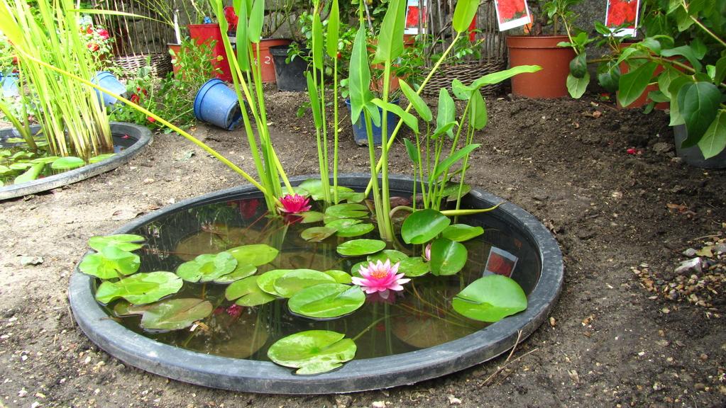 盆栽睡莲的种植方法图解