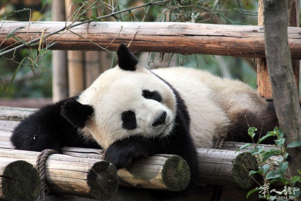 Yuan-Zi_Chengdu_©ZooParc-de-Beauval.jpg