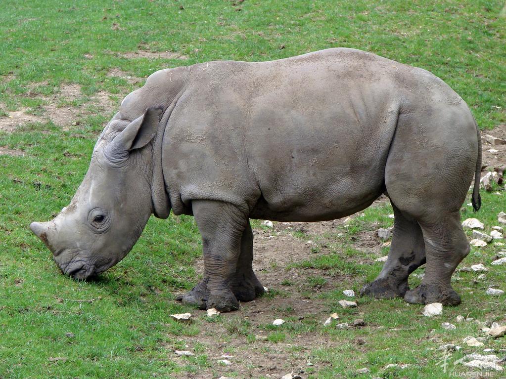 Zoo_Beauval_12_06_2010_18_Ceratotherium_simum_simum.jpg