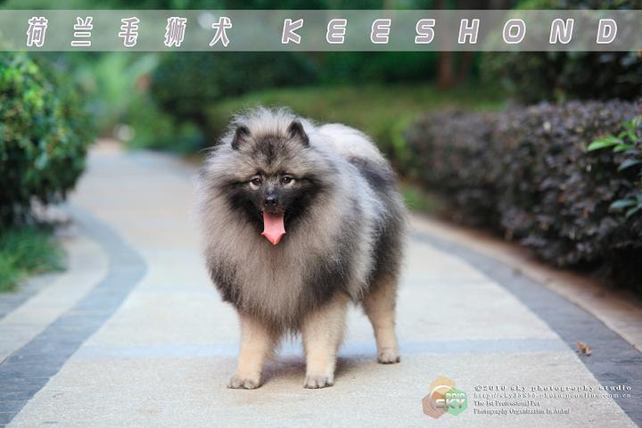 狮毛犬图片_武汉狮毛犬_毛狮犬
