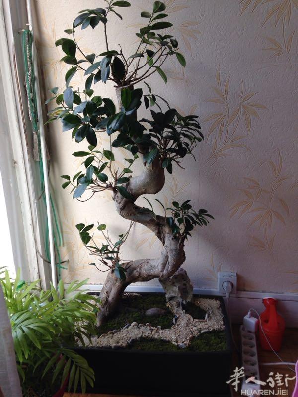 榕树盆景养殖方法详解