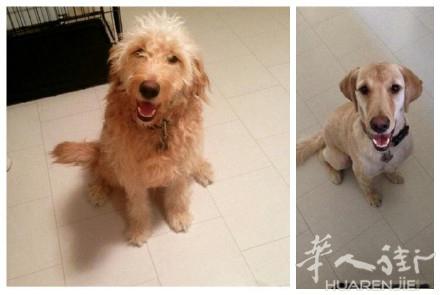 去宠物美容那里剃了个毛,感觉换了一个品种