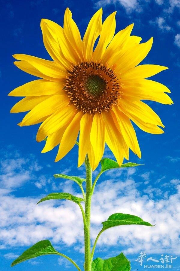 向日葵,阳光下最美的花