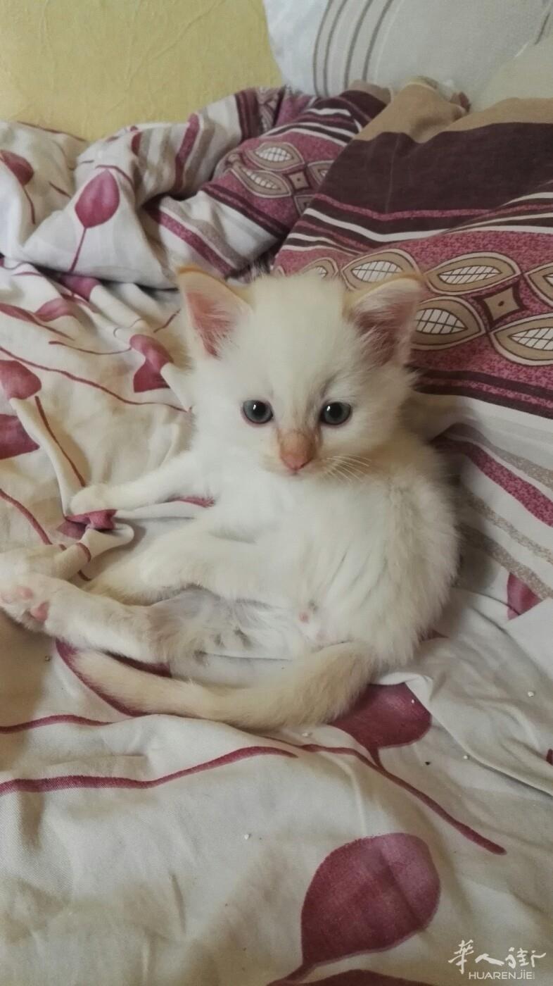 出售3只可爱伯曼猫宝宝