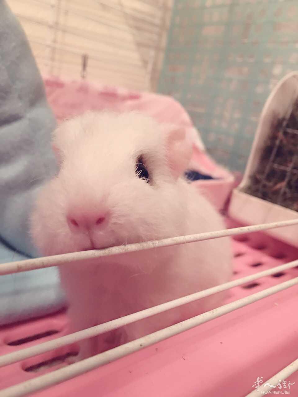 自家荷兰猪生的可爱女宝一只~萌萌哒 - 宠物世界区