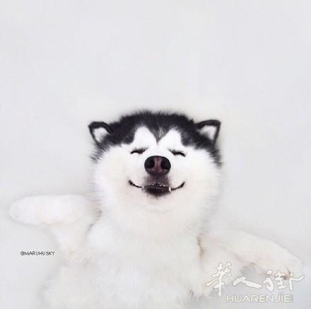 论坛 69 华人大家庭 69 宠物花草 69 爱笑的呆萌二哈.