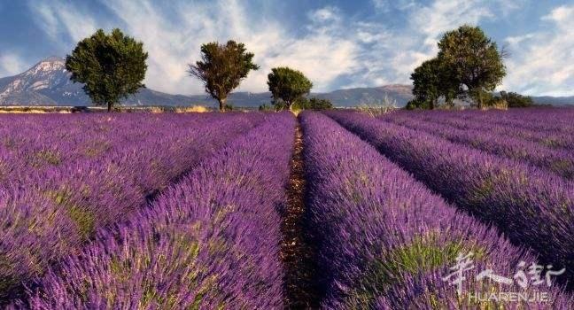 lavender-fields-provence-france_main.jpg