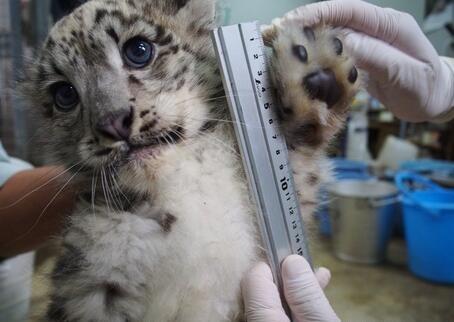 动物园给一只小雪豹量爪子,小可爱,萌