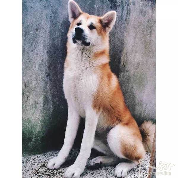 600欧,秋田幼犬出售,公,证件齐全,疫苗已打三针