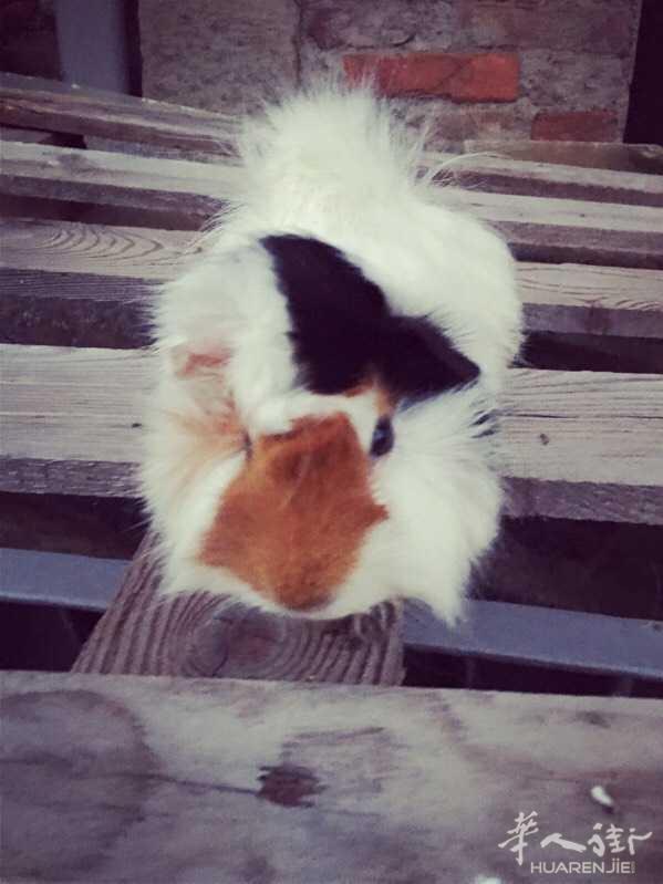送一只小荷兰猪  笼子自带 wx  : sofia