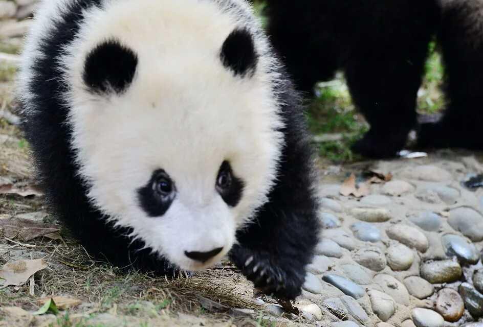 中国大熊猫  暂发二张、行吗