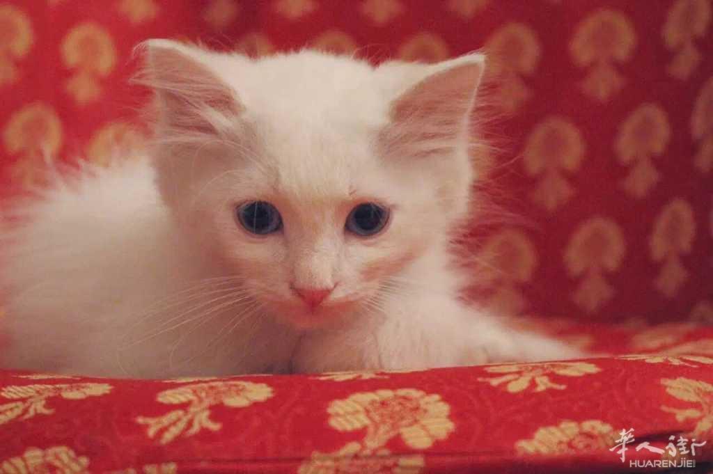 出售白色长毛猫
