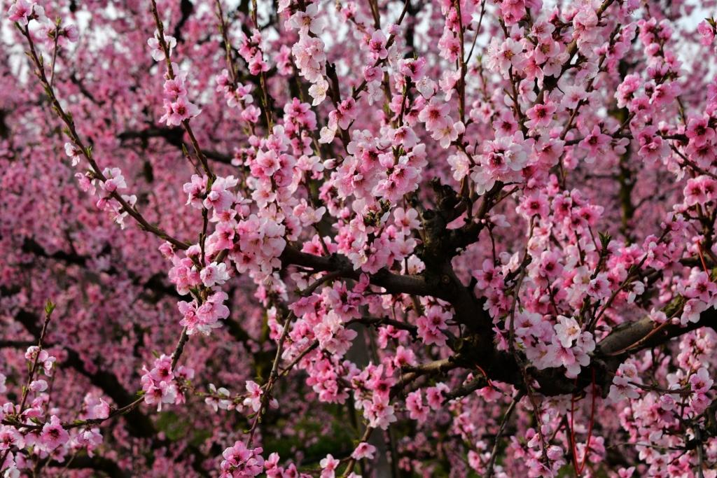 桃花朵朵开,摄影协会来!