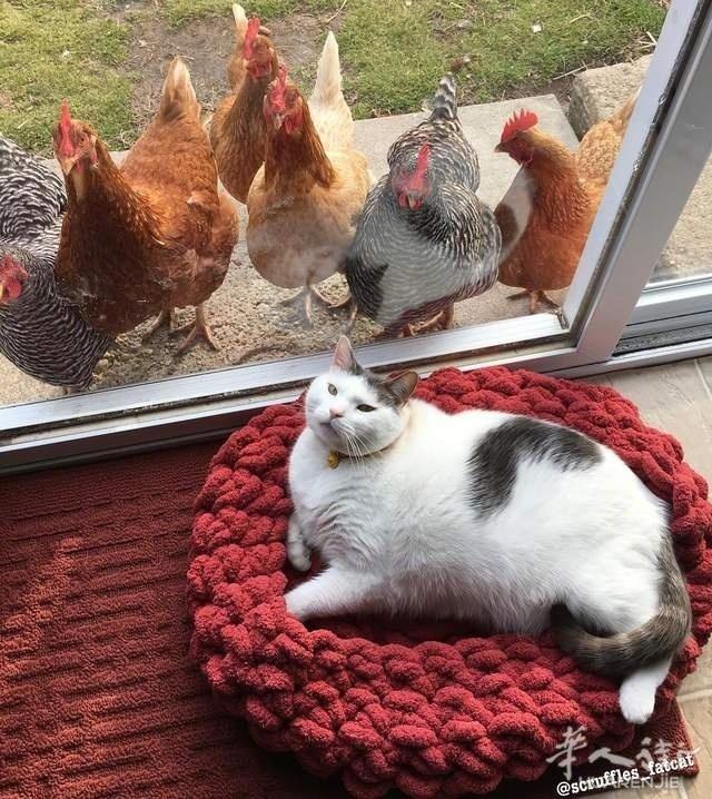 Ins上一位网友养了一只胖喵和一群鸡