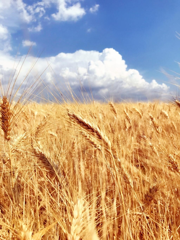 普罗旺斯的麦田