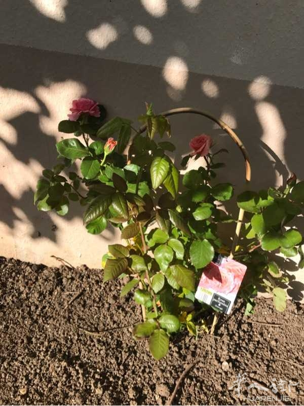 玫瑰花13一颗,你们觉得合算吗
