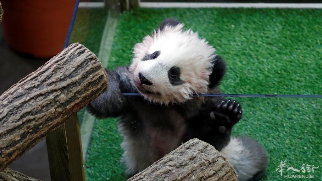 在法国出生的大熊猫宝宝圆梦 在法国出生的熊猫宝宝圆梦,上周末在法国波娃勒动物园,第一次在法国游客面前公开亮相,吸引众多游客大排长龙,争先恐后前往圆梦:与圆梦首度会面。圆滚滚、毛绒绒、六个月大的圆梦,卖萌动作频频,惹人爱怜。圆梦的第一次公开亮相,许多法国粉丝向记者说:一定得到场!(请进入点击视频观看)