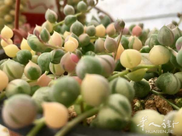 佛珠锦 Senecio rowleyanus variegata