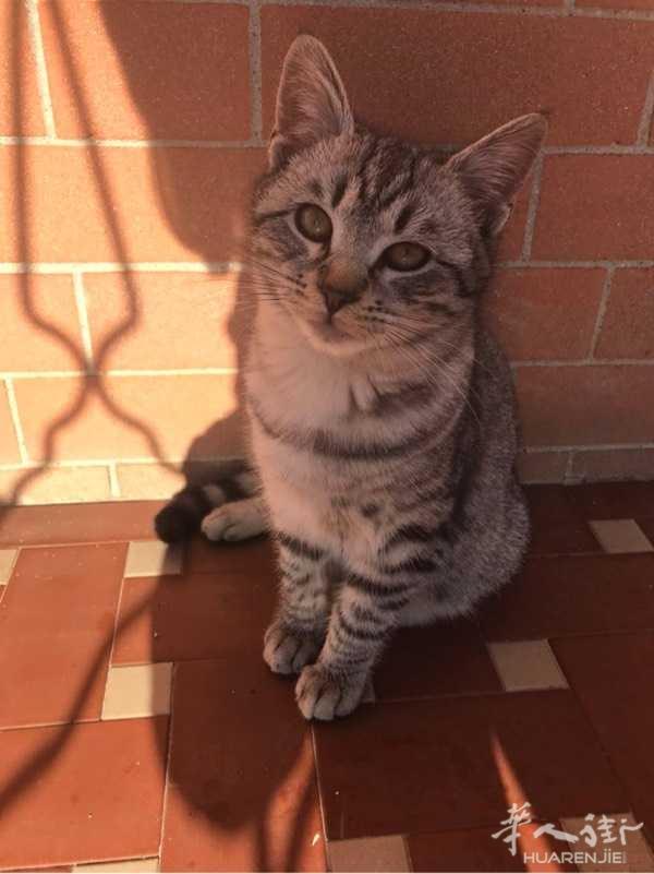 求领养一只小猫,快6个月了。由于家人对猫的毛发过敏,现在