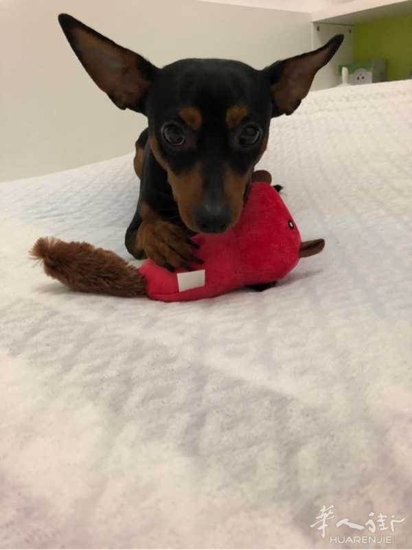 送一只小型杜宾犬pinscher di razza maschio due anni taglia medio-piccolo