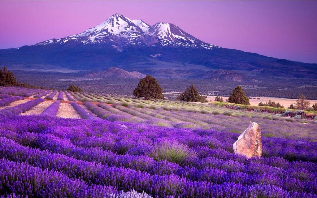 Lavender-fields2.jpg