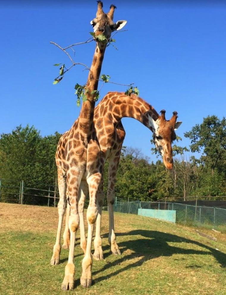 长颈鹿乖乖的呆在动物园里吃树叶
