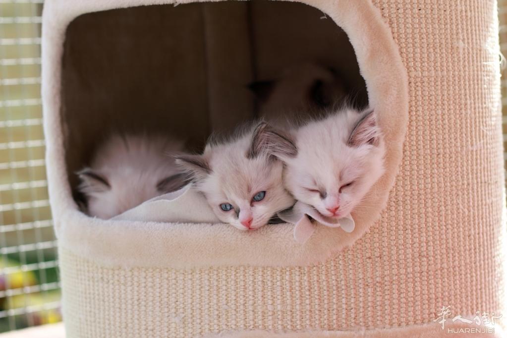 英国GCCF注册纯种布偶小奶猫接受预订