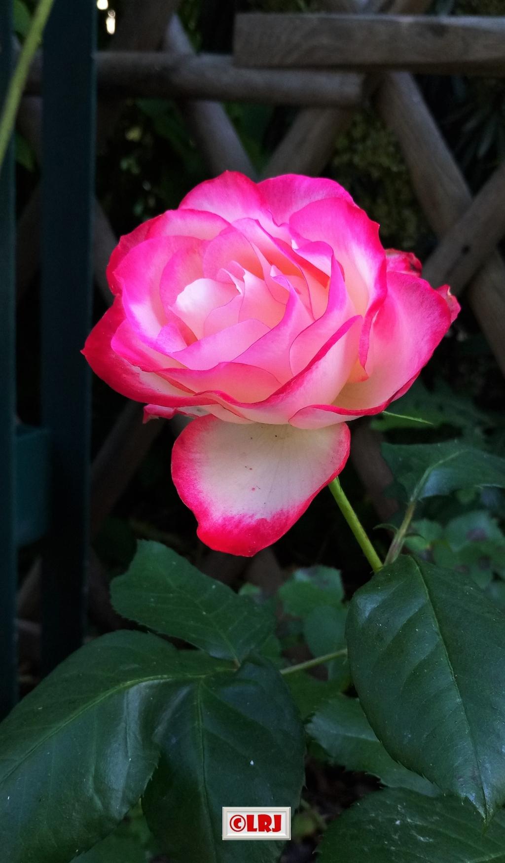 玫瑰花手拍………………