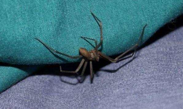 意大利拉响小提琴蜘蛛警报:一旦被咬赶快上医院!