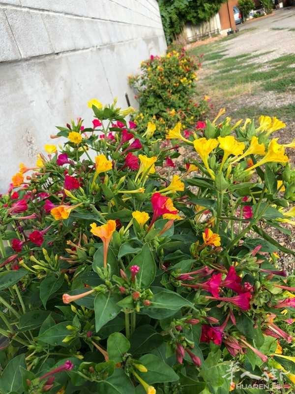 私人花园:五彩胭脂花
