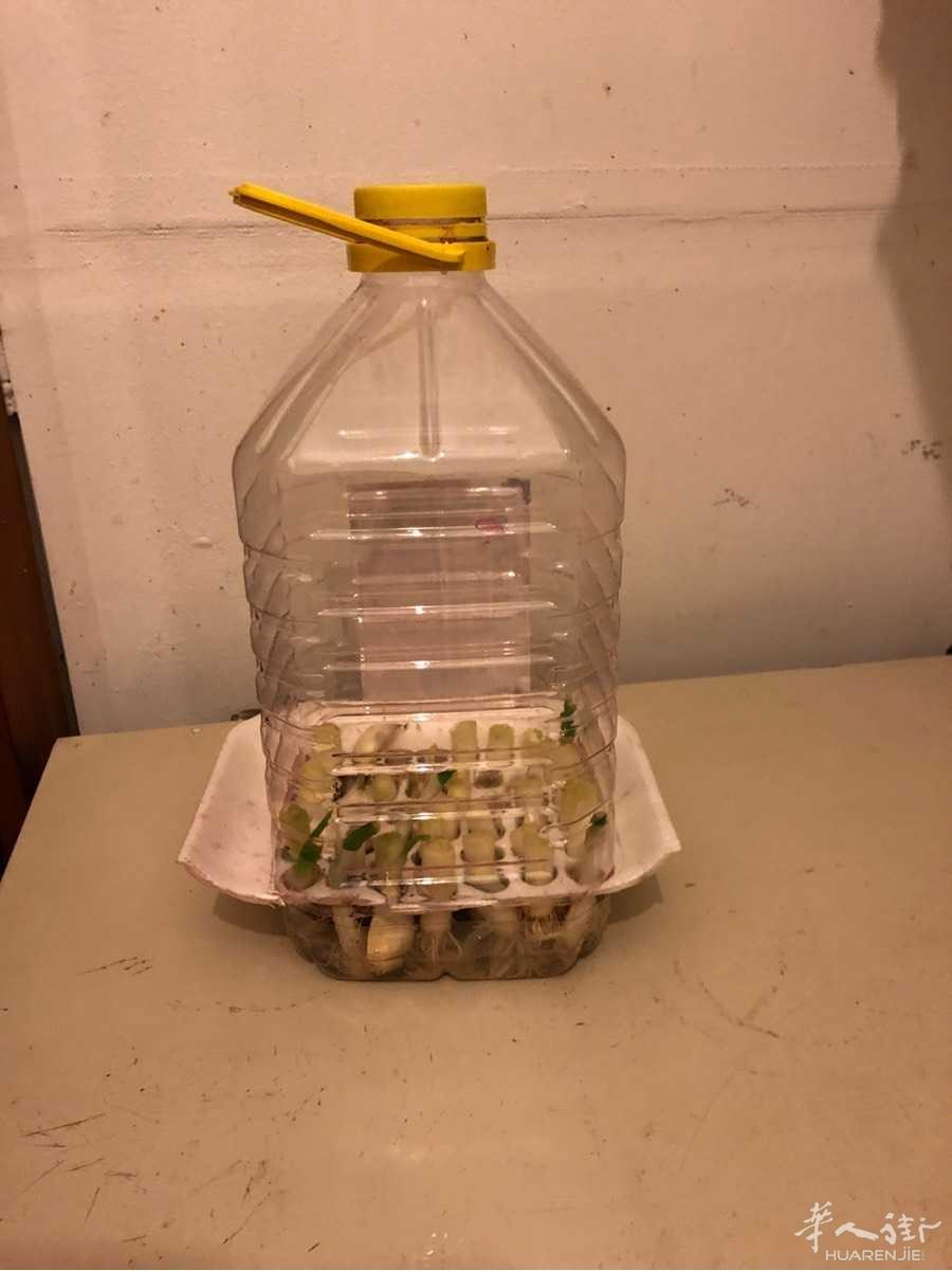 今天玩个葱根,无土栽培在实验中。