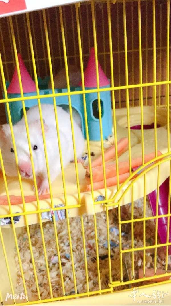 有人愿意收养可爱的仓鼠宝宝吗 Prato-Firenze
