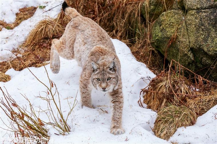 1200px-Lynx_0635.jpg