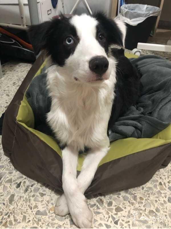 送养狗狗,六个月的边牧因为个人原因没法养了,是一只非常活泼漂亮的小狗,除了比较调皮一些