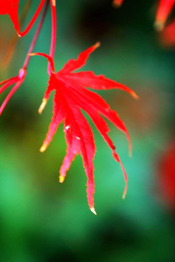 秋野红叶胜似火