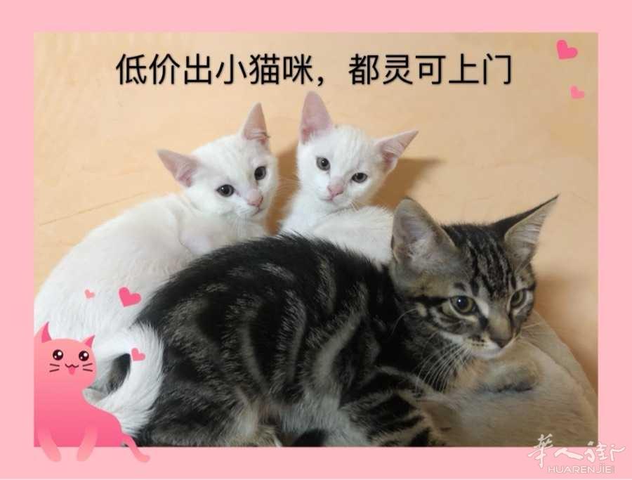 低价出几只小猫咪一共4只母亲是纯白,父亲是狸花低价出