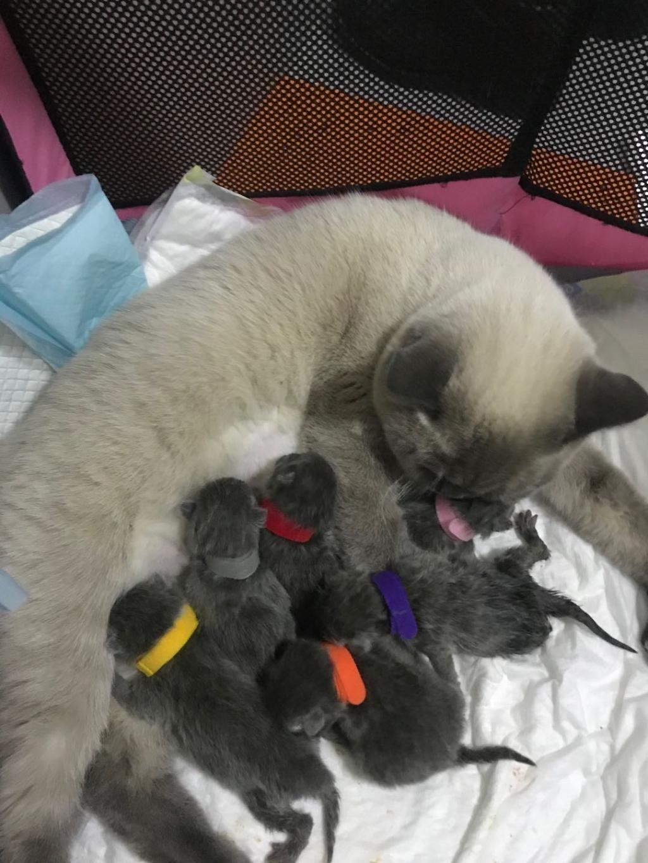 【德国】英短蓝猫出售!