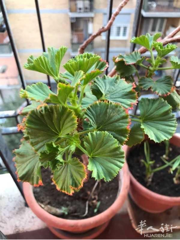 有谁知道这种植物叫什么名字吗?它的叶子边上好像镶了金边。