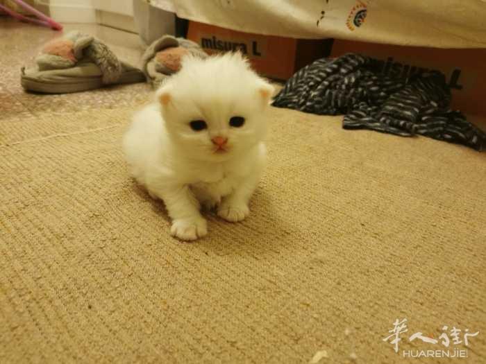 4.18号出生的小猫可接预定啦~坐标佩鲁贾罗马周边可送(价格美丽)