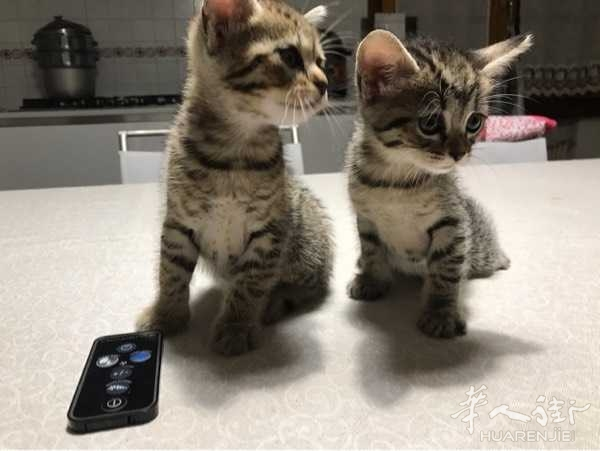 给小猫咪找个好主人,性格温顺,听话,谁要请留言或者留下微信,我联系你