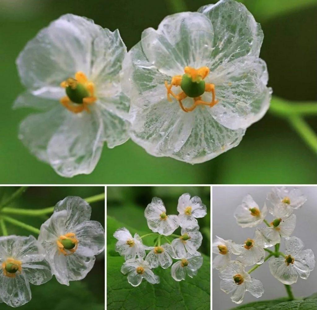梦幻般的水晶花瓣–山荷叶小花