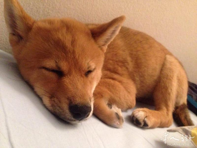 米兰 一只柴犬,刚满三个月 超级可爱 转让 900